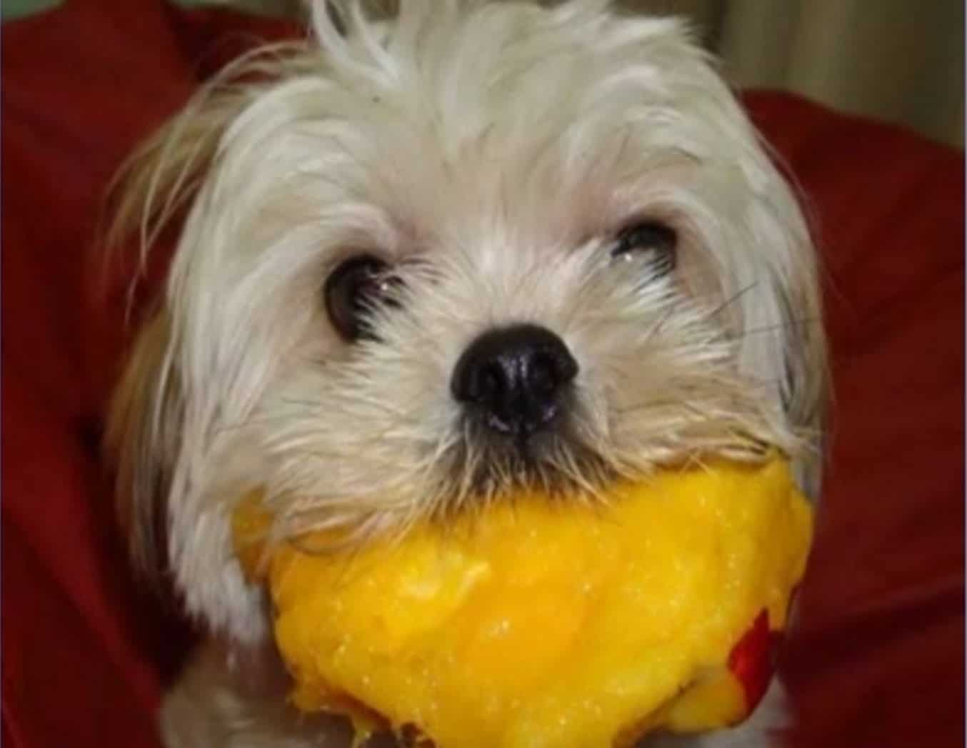 There are certain side effects and risks of dogs eating too much mango.