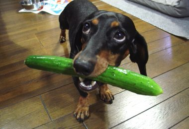 Can dogs really eat cucumbers? In fact, cucumbers are quite healthy for dogs.
