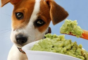 A dog eating guacamole made out of avocados.