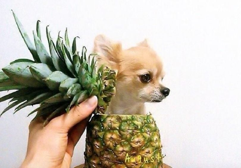 Can dogs eat pineapple? Yes, but only in moderation.