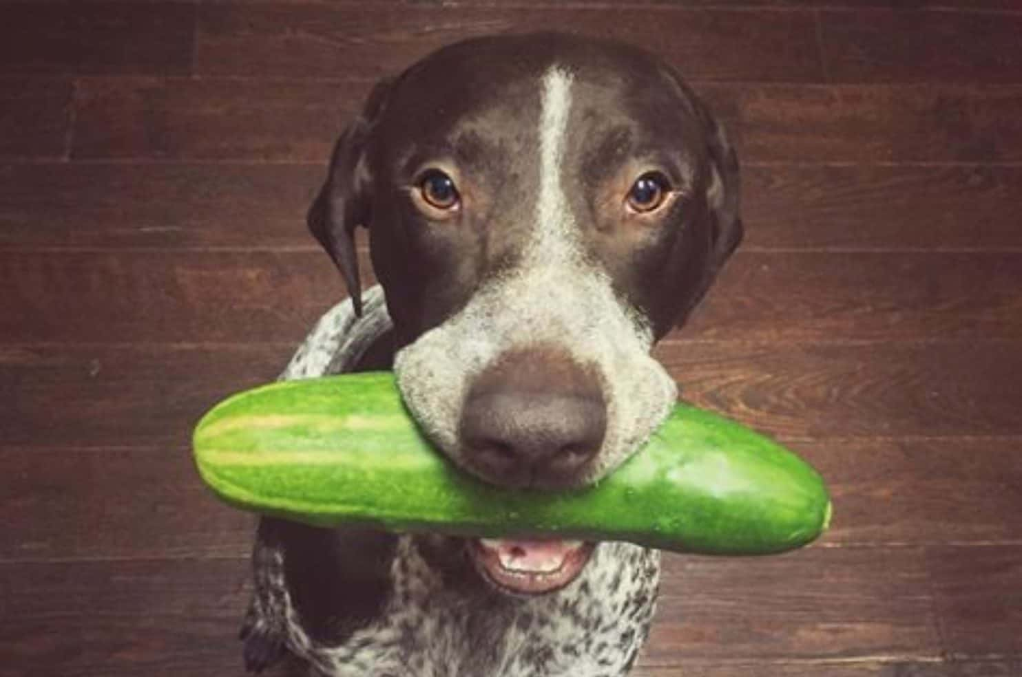 There are certain risks and side effects when feeding dogs cucumbers.