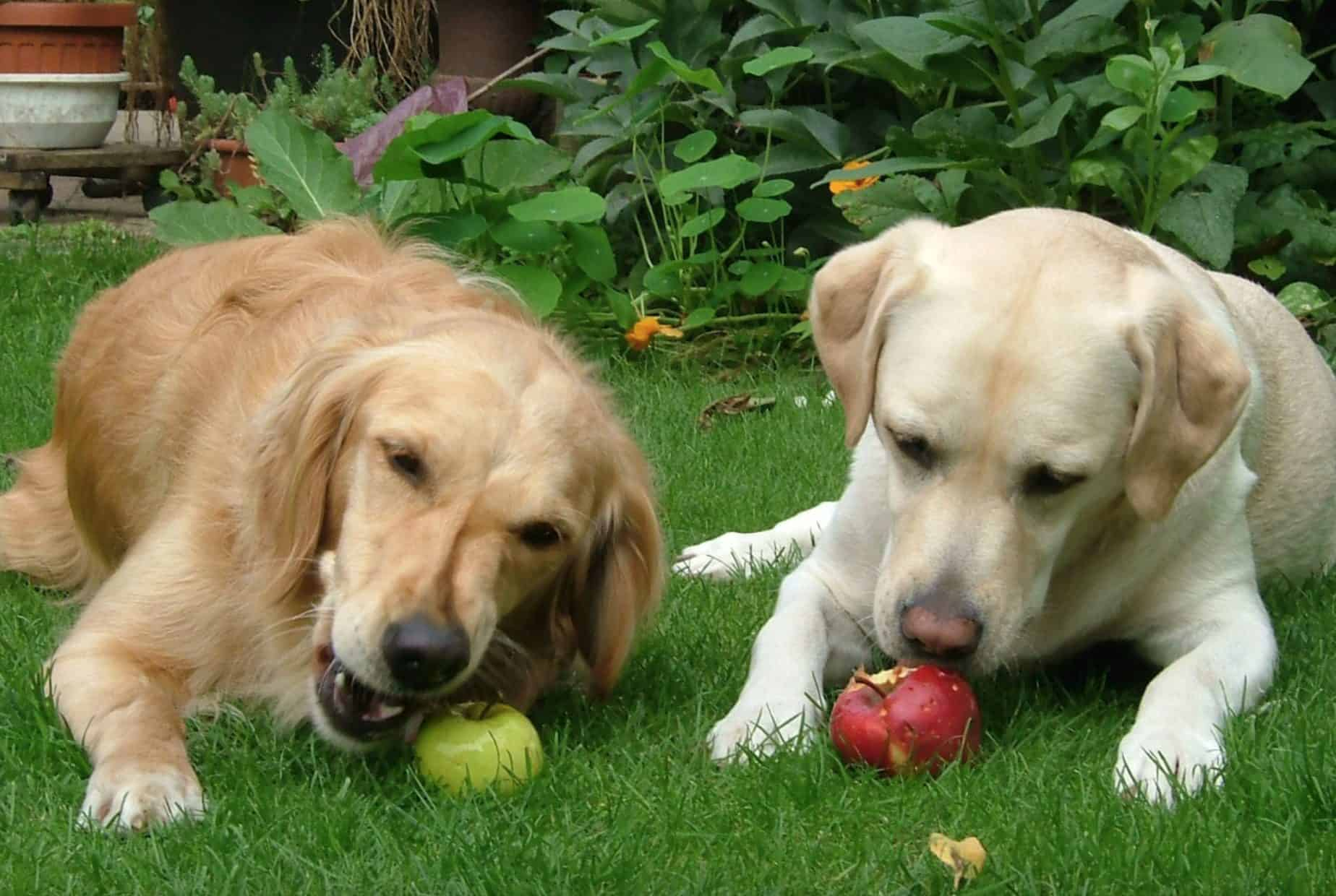 Giving a few apples for dogs can provide them with many health benefits.