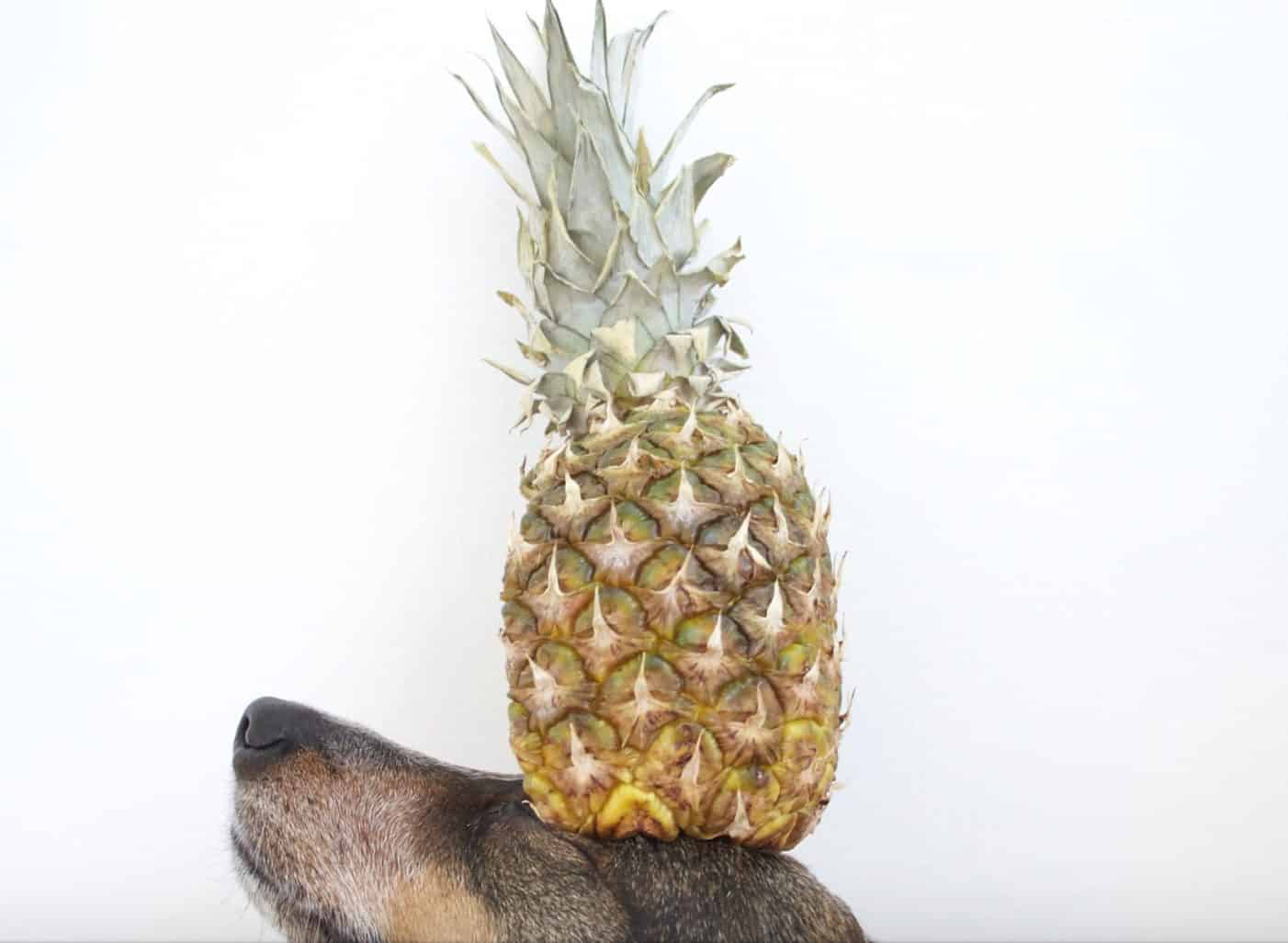 Dogs can eat pineapples only if they are prepared properly for them to consume.