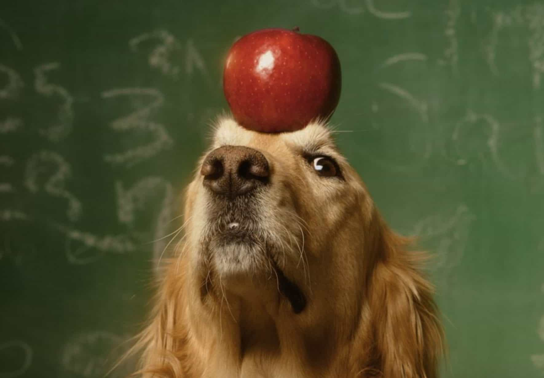 There are side effects that may occur with dogs and apples.