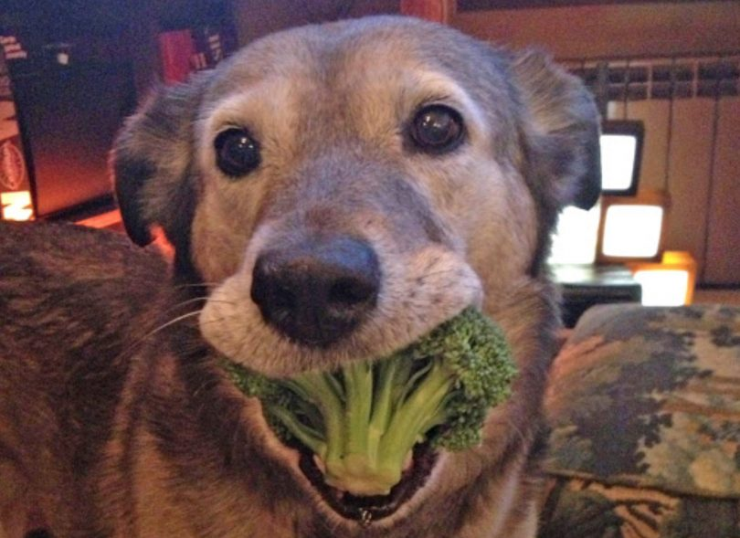 can dogs eat broccoli or are they harmful to dogs?