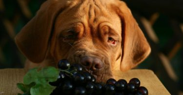 Can dogs eat grapes safely? No, grapes are actually toxic to dogs.