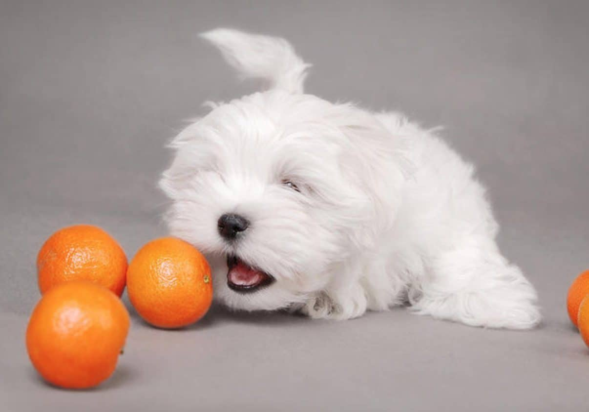 Can dogs eat oranges? Yes, dogs can safely eat oranges in moderation.