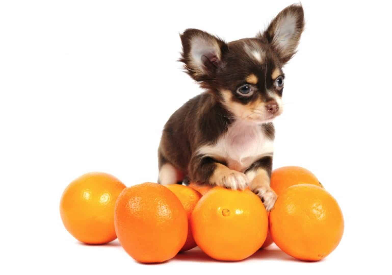 The main health benefit of dogs eating oranges is the Vitamin C.
