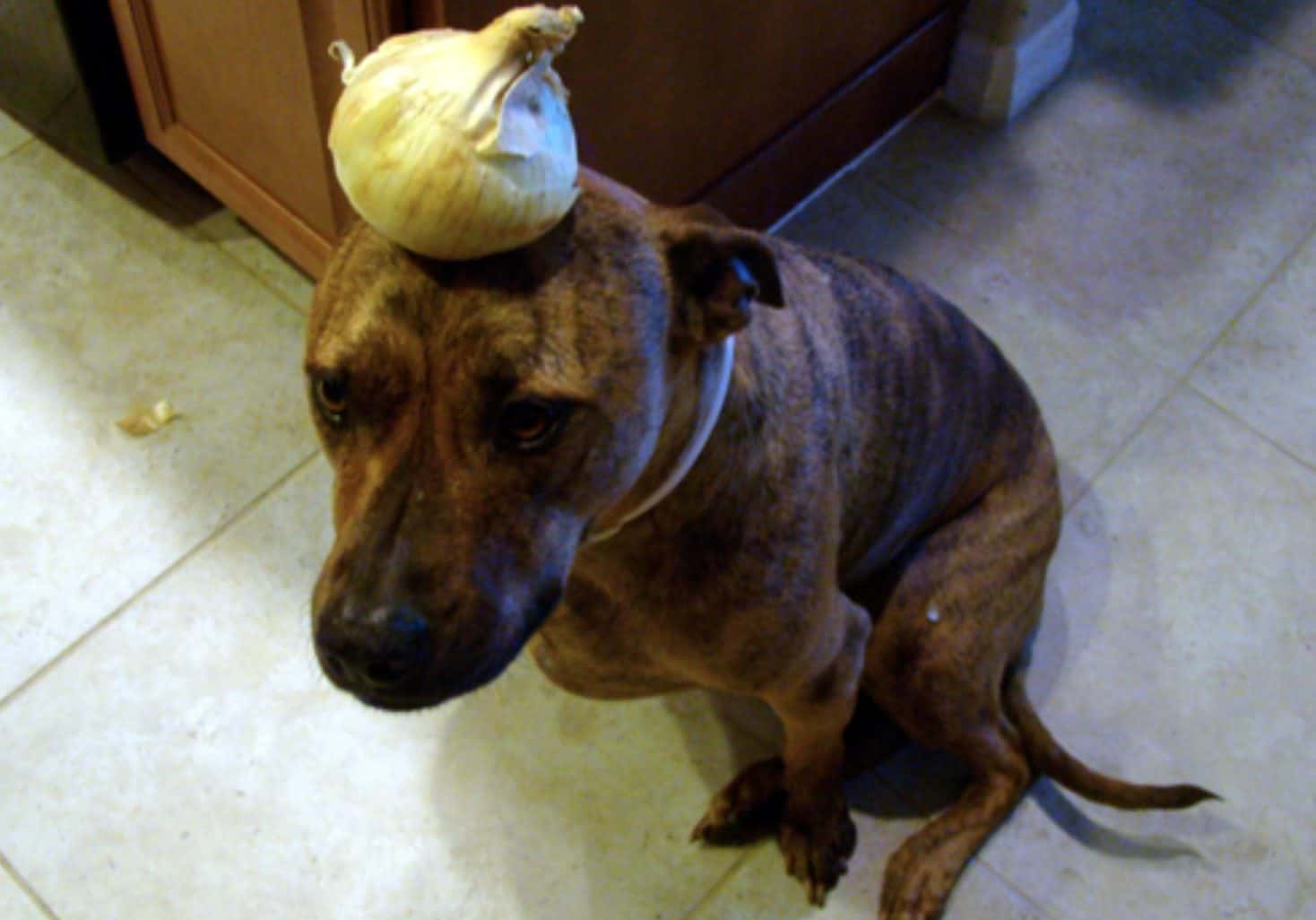 Can dogs eat onions? No they cannot eat onions because the vegetable contains a toxin harmful to dogs.