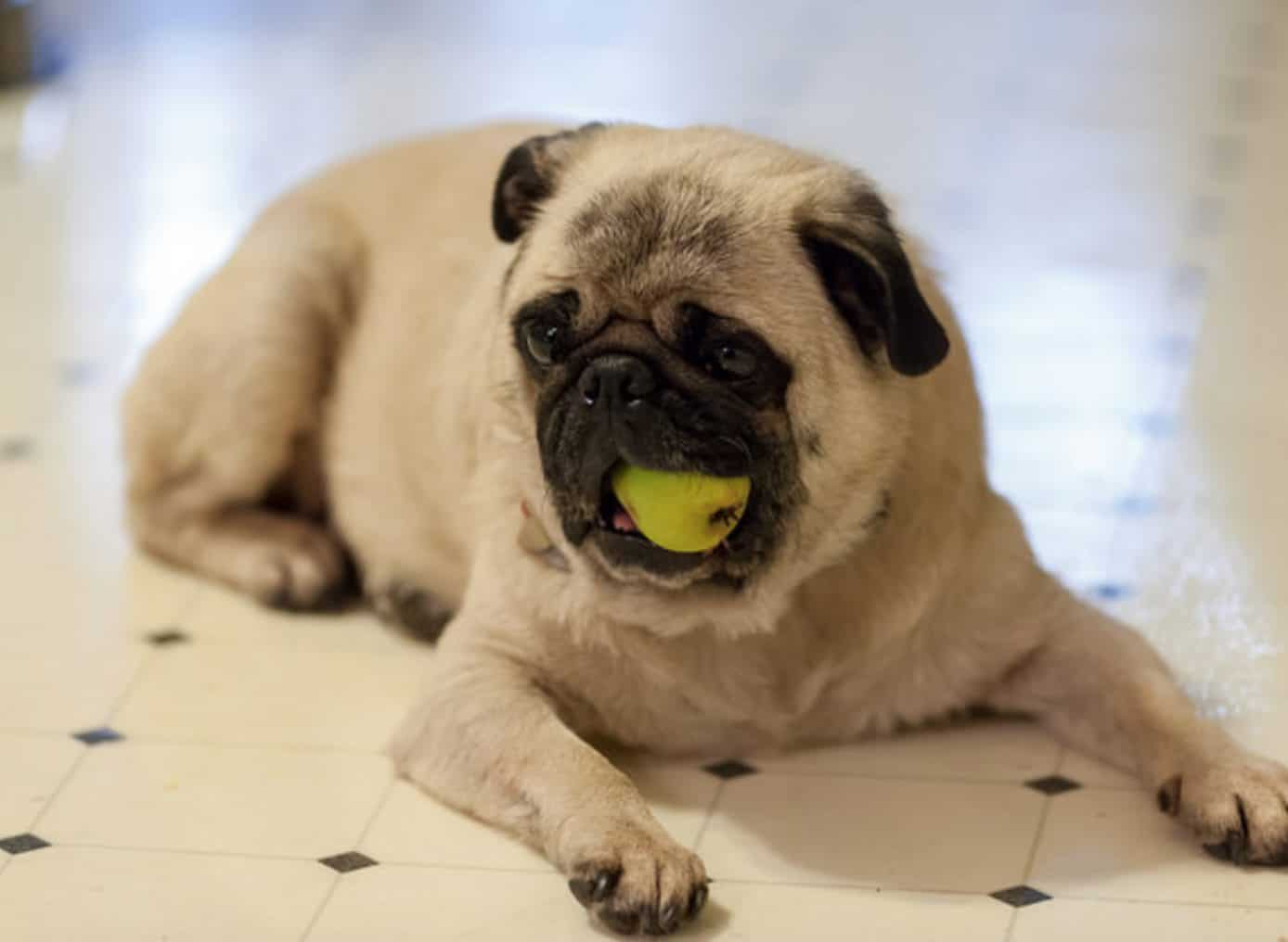 There are risks and side effects when dogs eat too many pears.