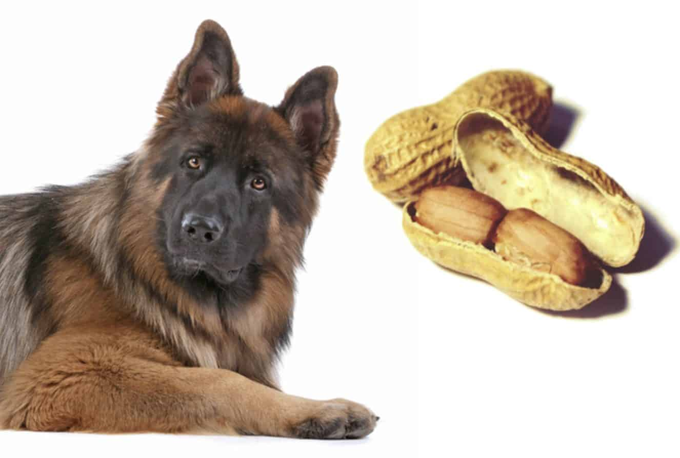 Can dogs eat peanuts? Peanuts are not toxic to dogs, so they can eat peanuts.