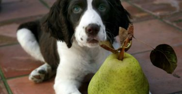 Can dogs eat pears safely? Yes, but only in moderation.