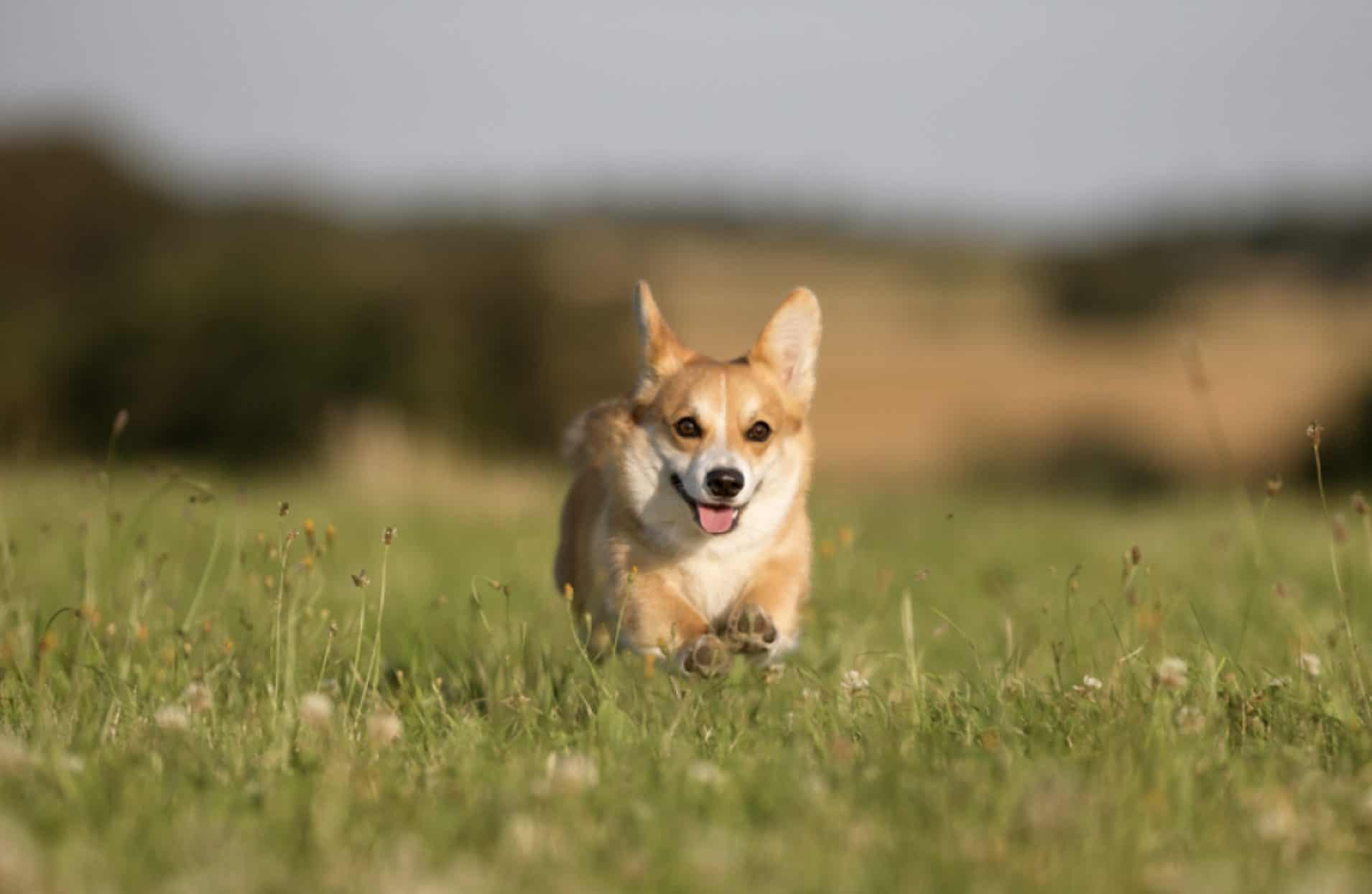 A Pembroke welsh corgi as it runs through the fields.