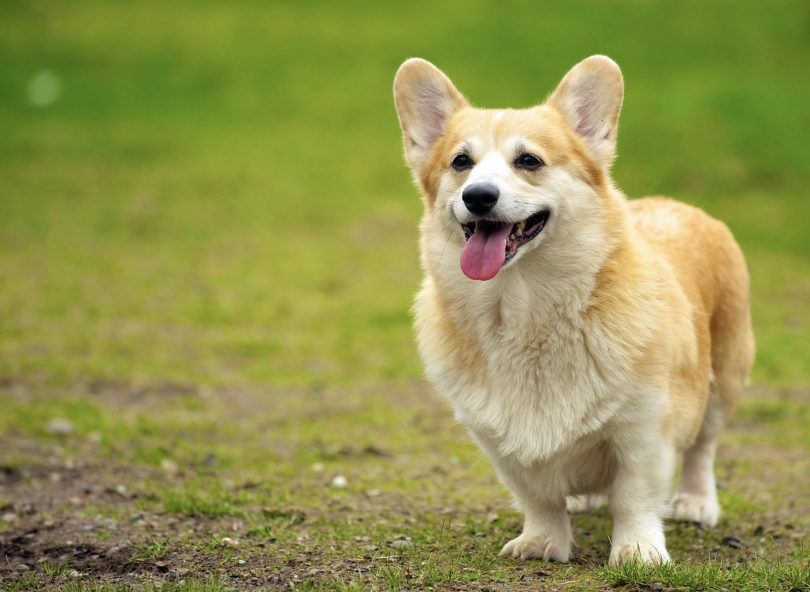 The Pembroke welsh corgi has a majestic feel do it.