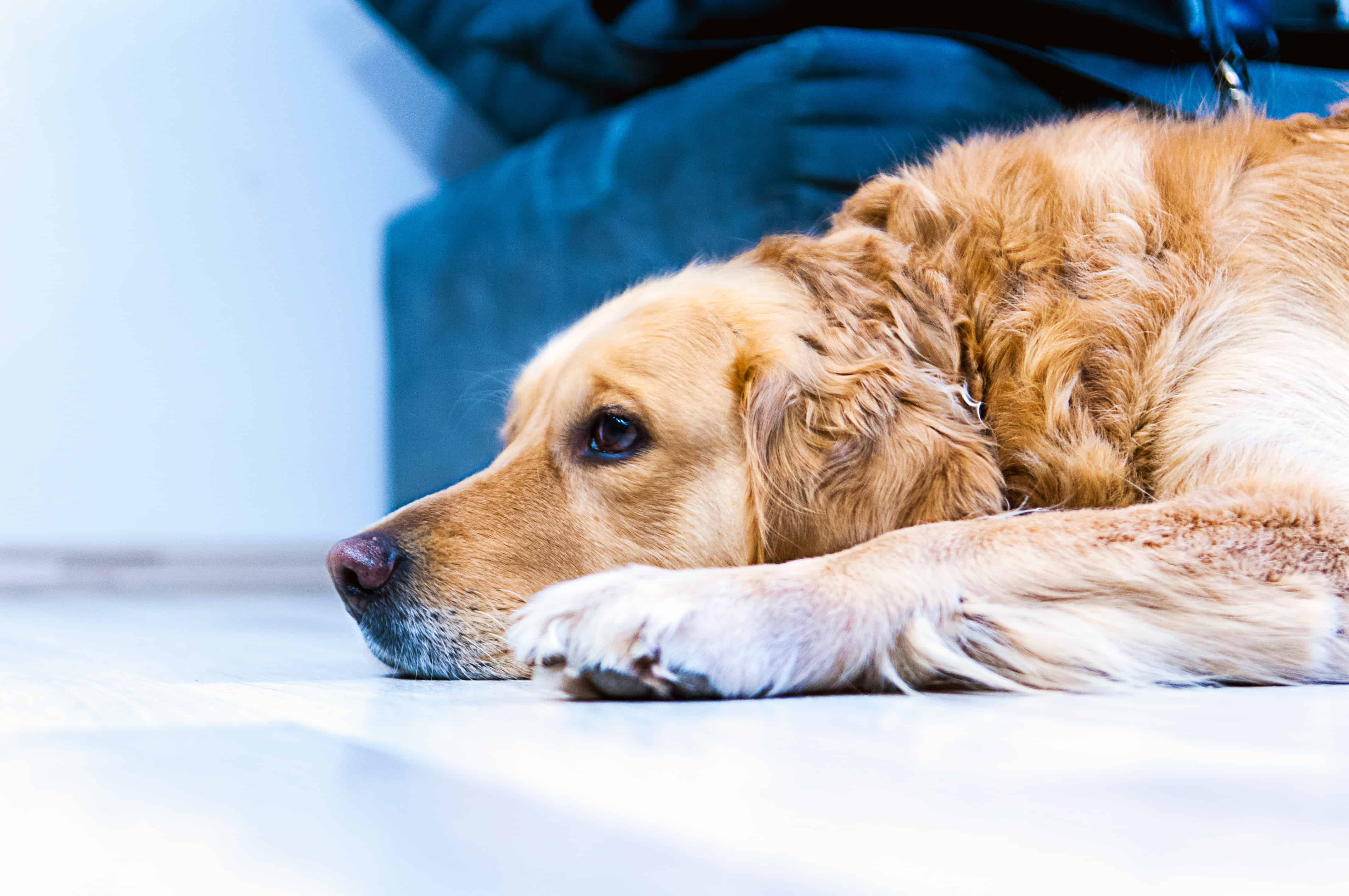 A golden retriever rests after it received his dog vaccinations at home.