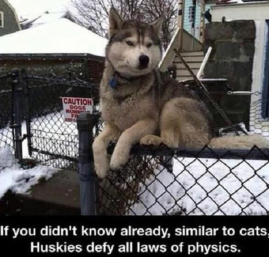 30 Funny Husky Jokes for All Dog Lovers (HUSKY PUNS)
