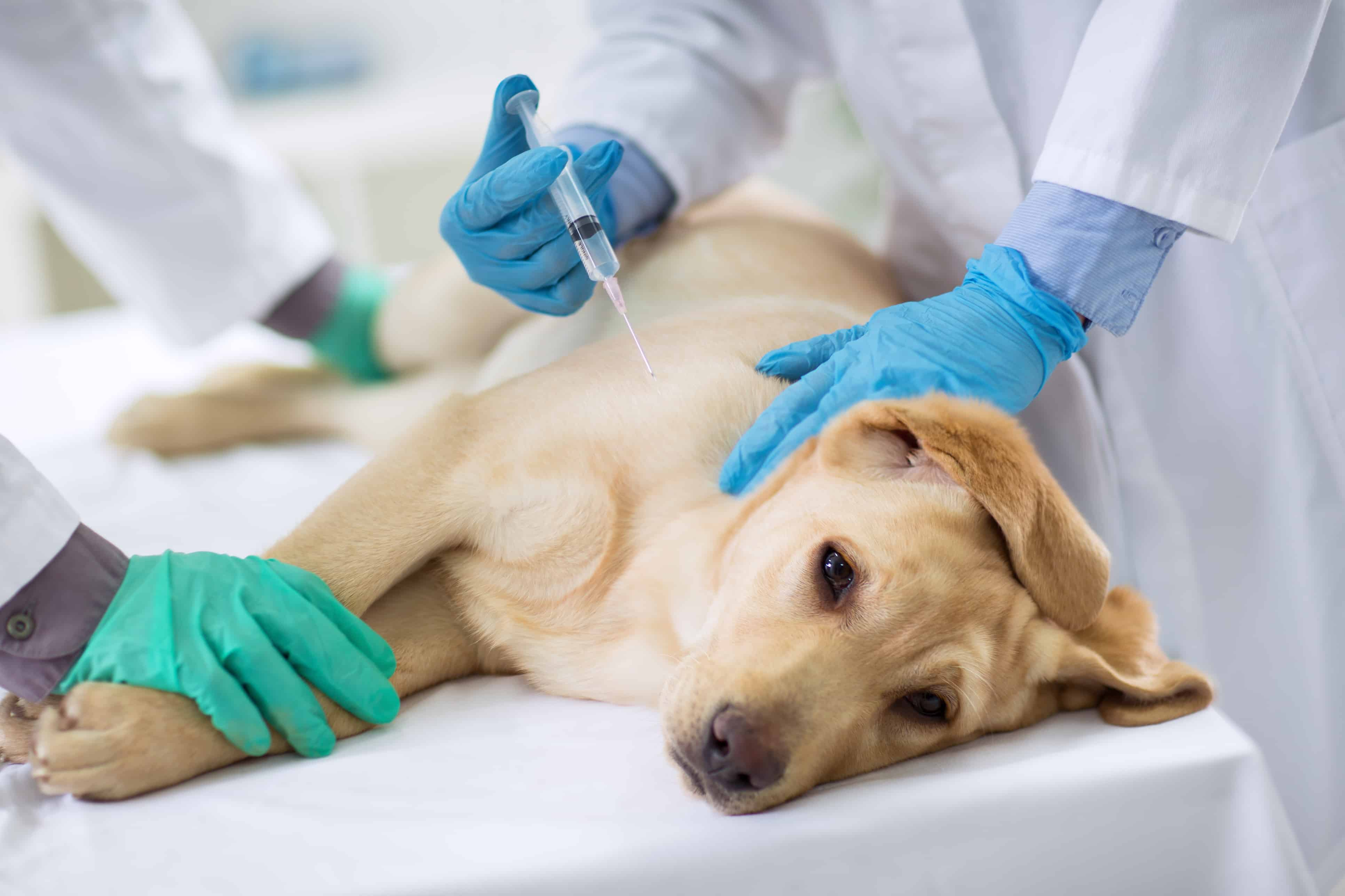 First Year Puppy Shots Beyond Guide To Dog Vaccinations
