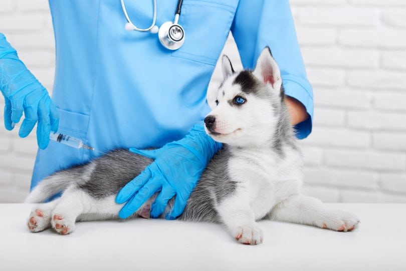 DHPP vaccination is essential for a healthy dog.