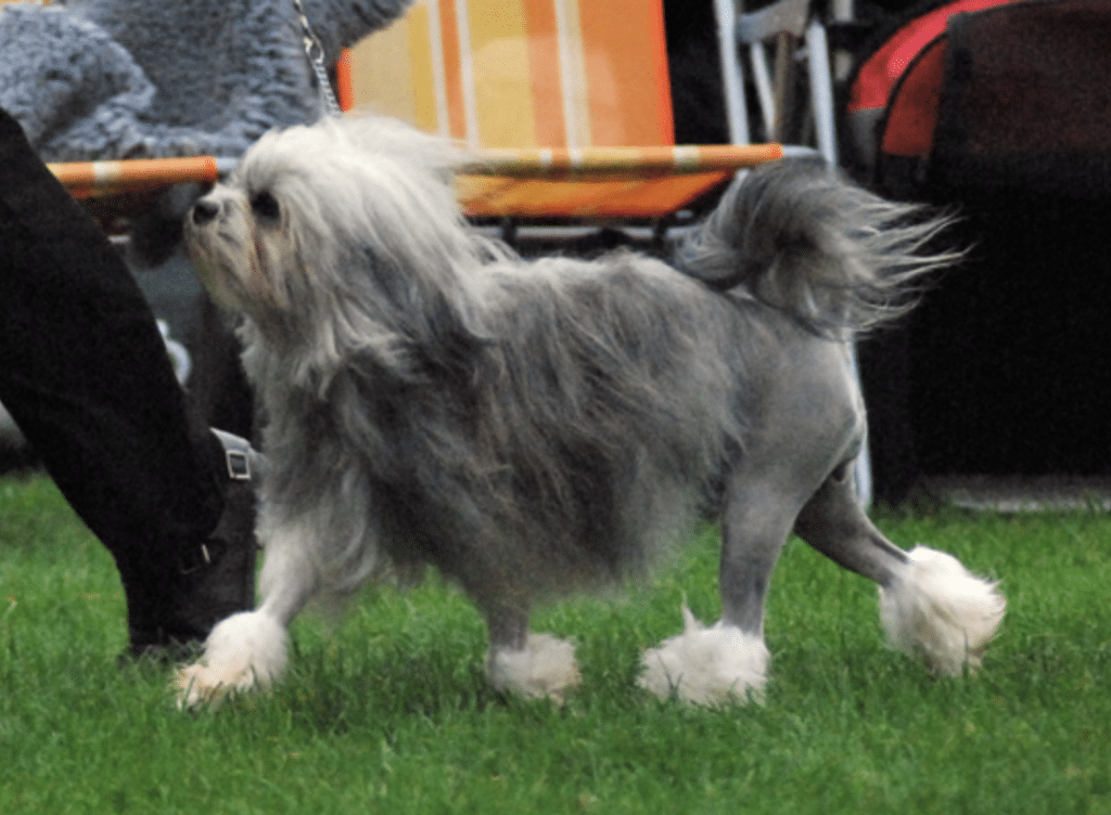 The Löwchens dog can command upwards of $10,000 USD for a single dog.