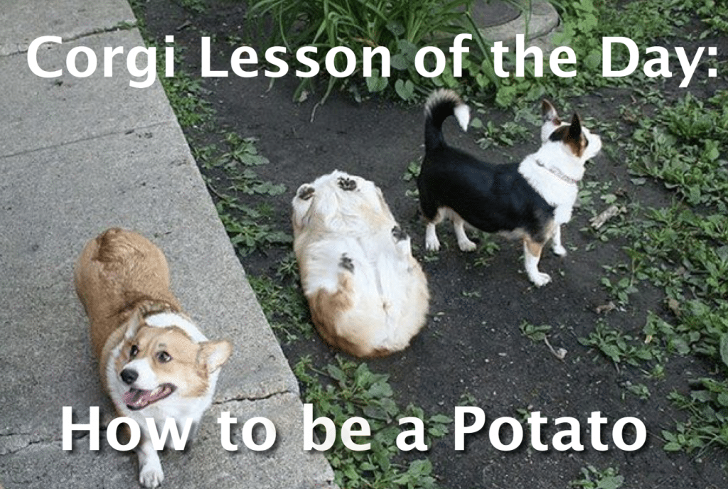 Corgi lessons on how to be a potato.