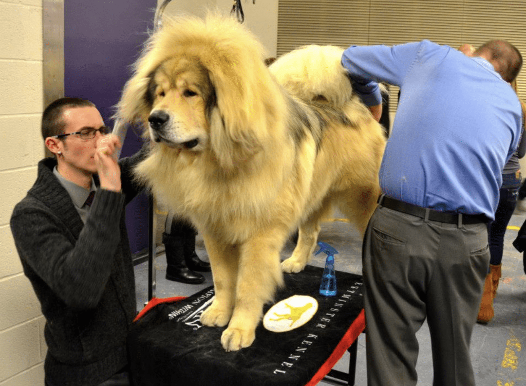The most expensive dog ever sold was a tibetan mastiff, for 2 million dollars.