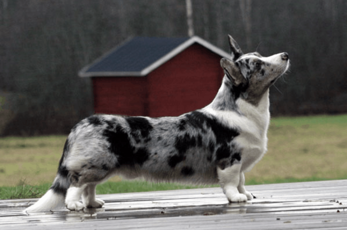 Differences between the pembroke welsh corgi and the cardigan corgi.