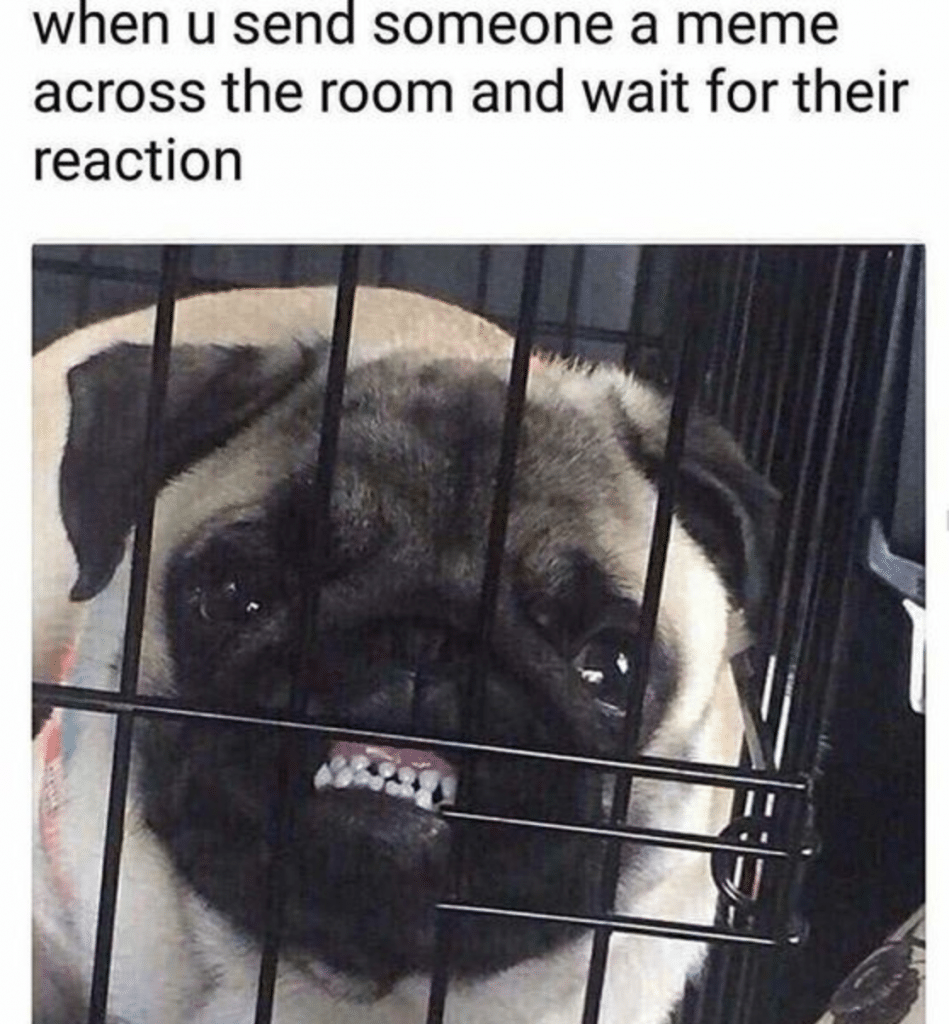 A pug waiting for his friend's reaction to the pug jokes.