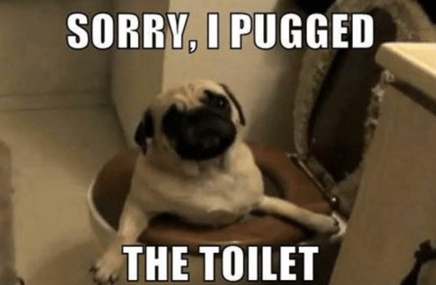 A pug stuck in the toilet.