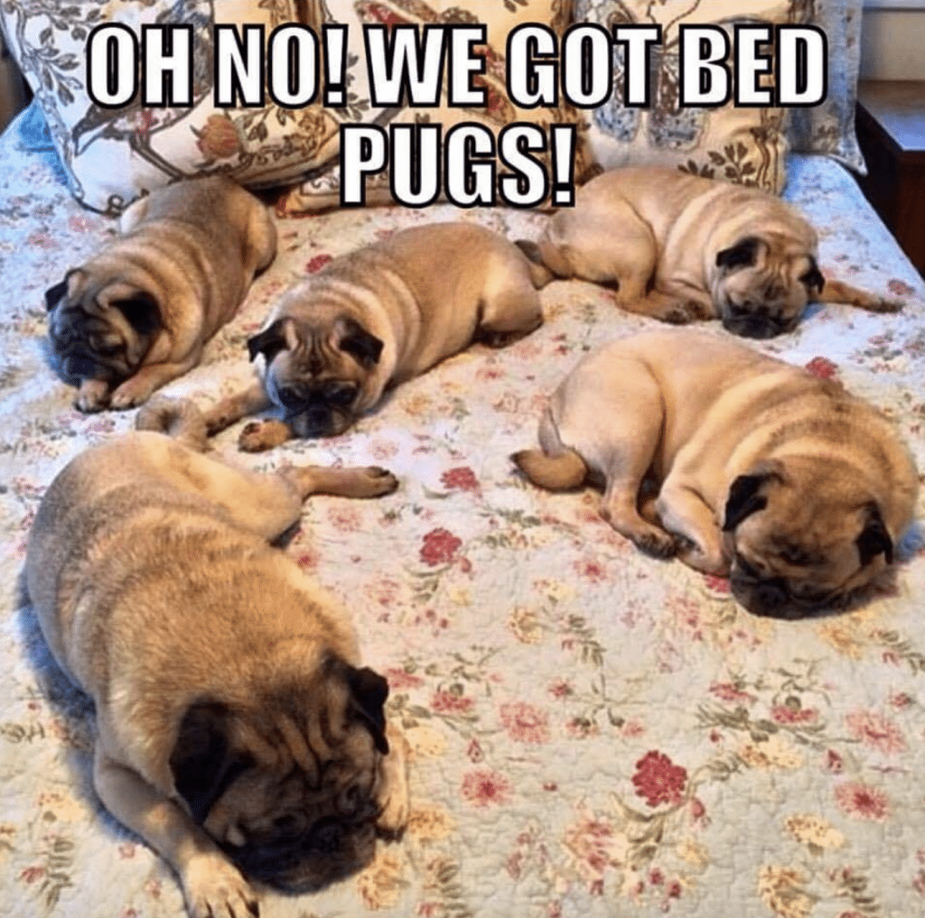 43 Funny Pug Jokes for All Dog Lovers (THE BEST PUG PUNS)