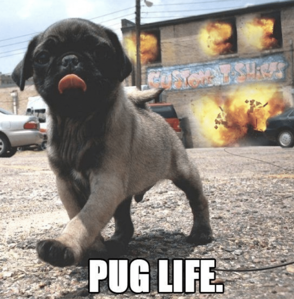 This little pug is all about that pug life.