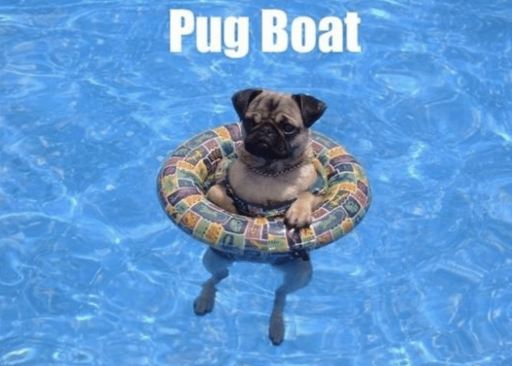A pug hanging out poolside.
