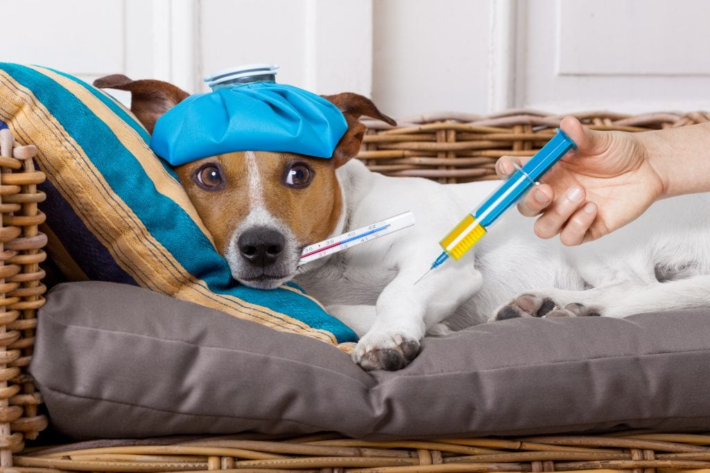 All dogs will show side effects or reactions to a certain extent following vaccinations.