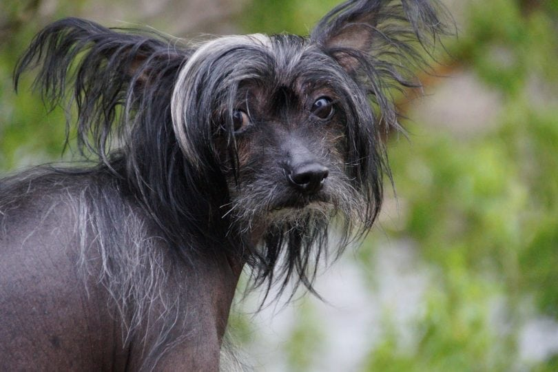 The Chinese Crested dog is a bald Chinese breed with hair in only three areas.