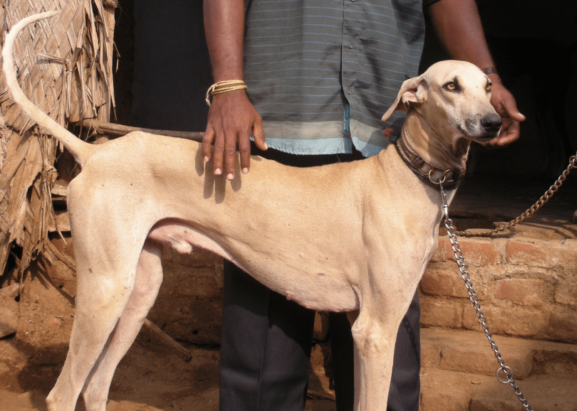 The Chippiparai is the most popular indian dog breed and bred by royal families in India.