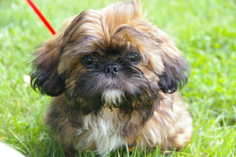 The Shih Tzu is one of the best lap dogs of all the Chinese breeds.