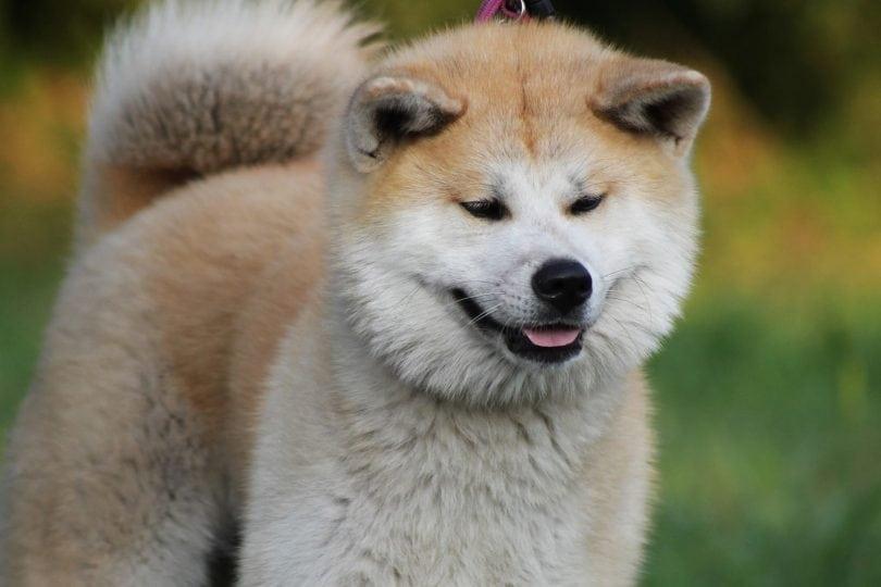 Akita Inu Temperament Origins Amp Care Hachiko Dog Breed