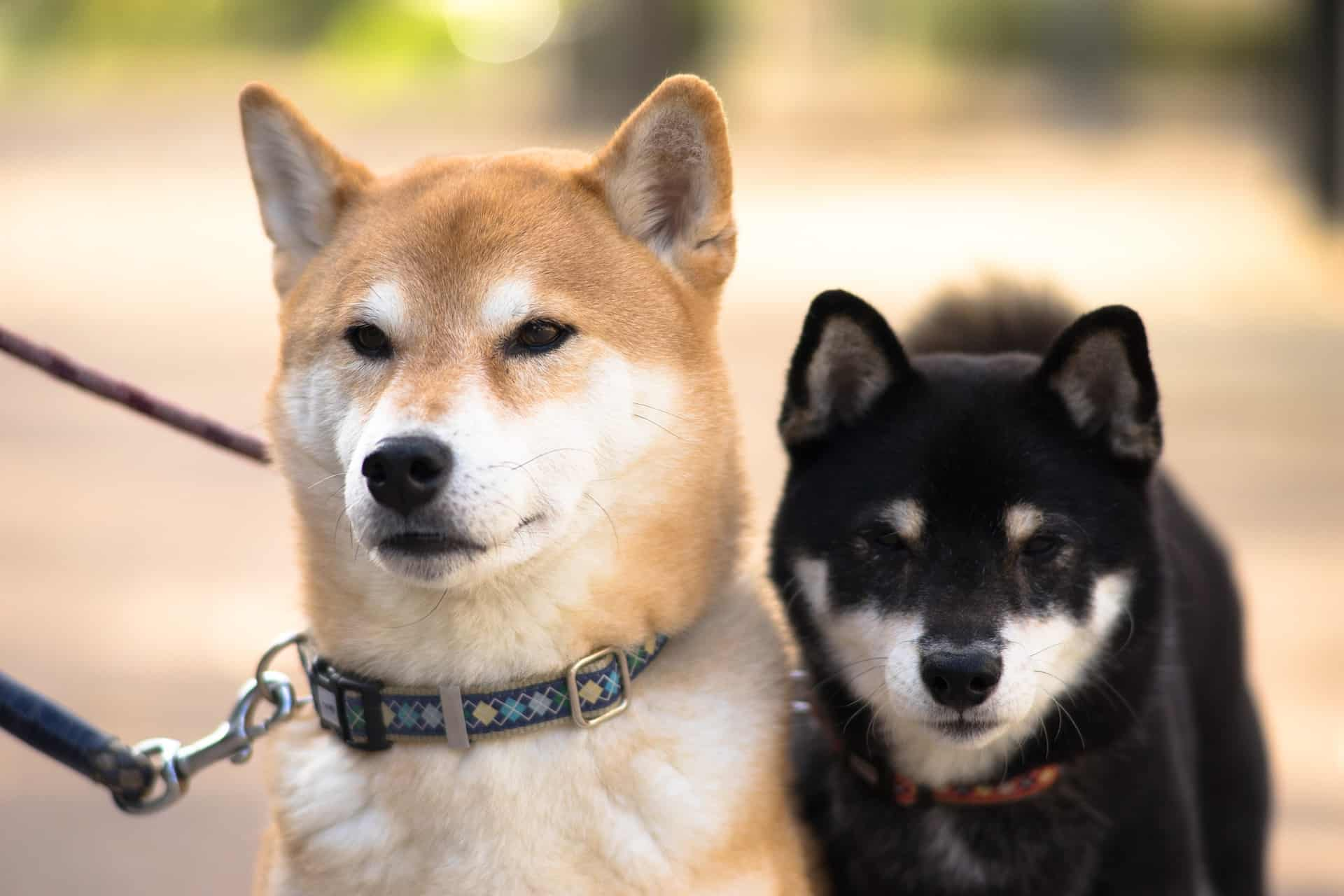Japanese dog breed. Character and content tips 78