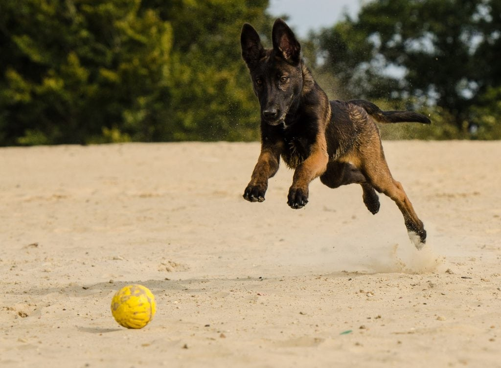The Belgian Malinois is most famous for being part of the Navy Seal military unit.