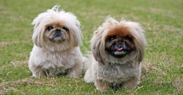 Some of the best dogs in the world are Chinese dog breeds.