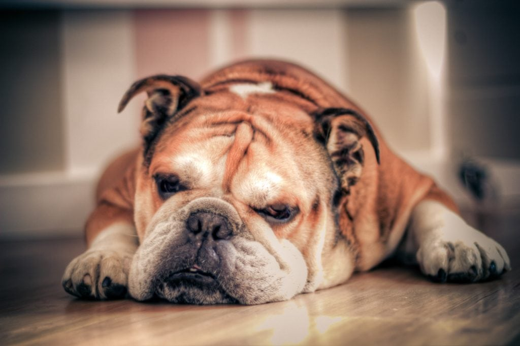 Due to a huge growth in popularity, the english bulldog has become one of the most expensive dog breeds.