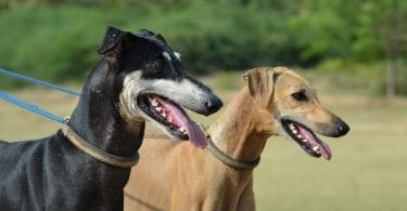 The dog breeds of india are both exotic and amazing dogs.