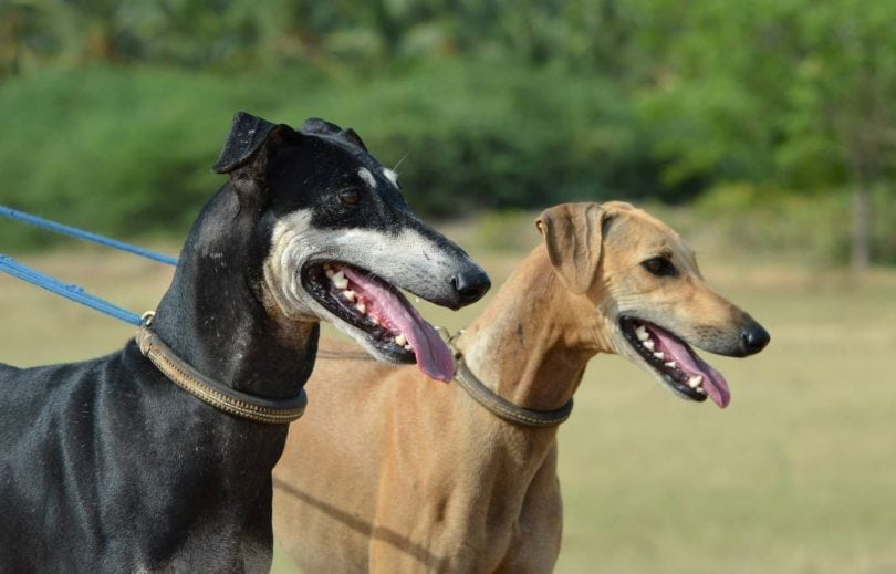 15 Exotic Indian Dog Breeds Worthy of Bollywood (DOGS OF INDIA)