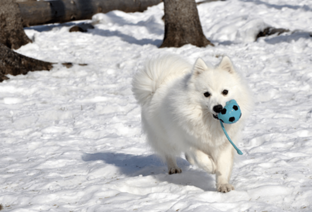The Japanese Spitz is a more common small dog breed from Japan.