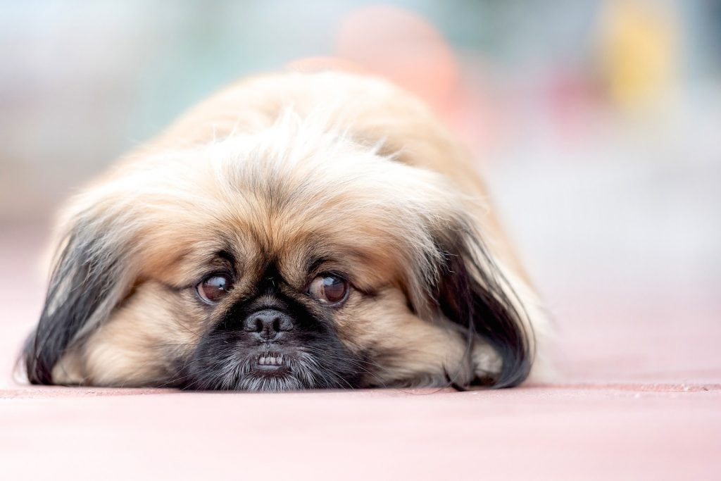 The Pekingese is associated with Chinese royalty and is easily the most popular dog in China.