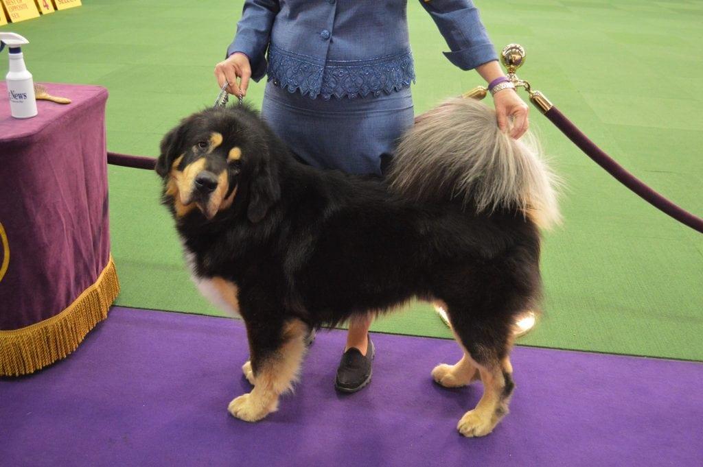 The most expensive dog sold was a Tibetan Mastiff.