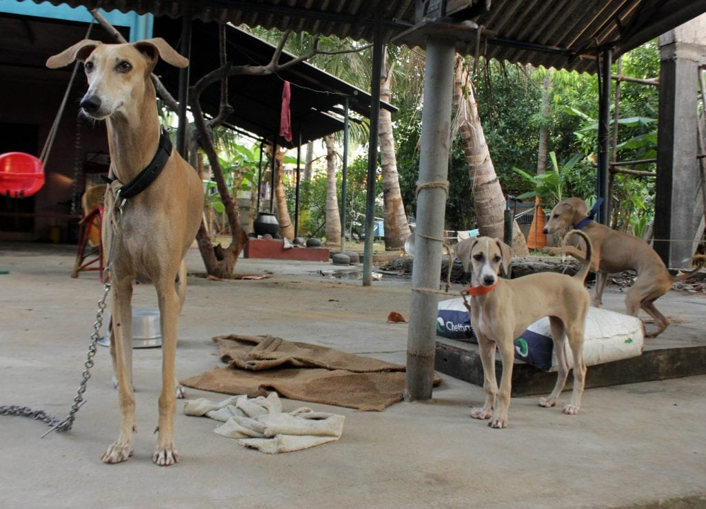 The Chippiparai are fiercely loyal dogs but have intense hunting instincts.