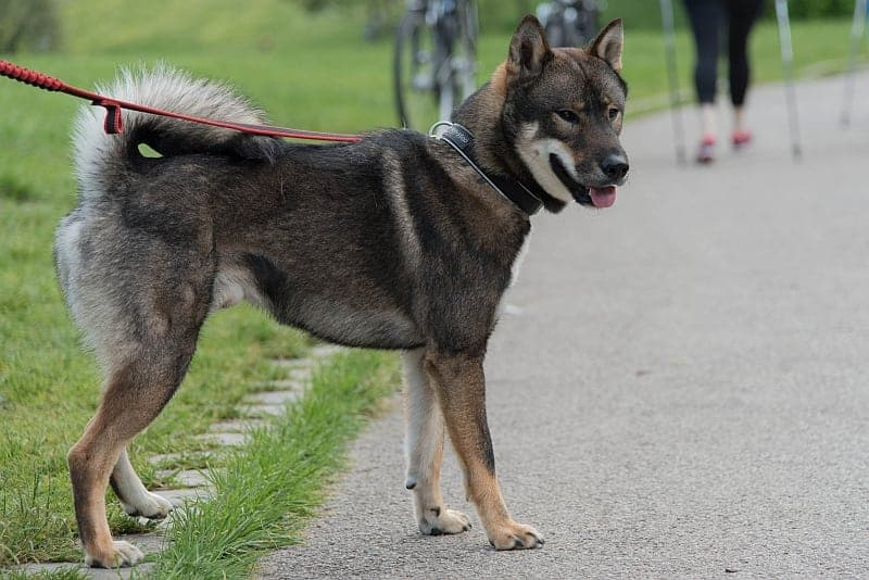 The shikoku inu is one of the easiest Japanese dog breeds to care for.