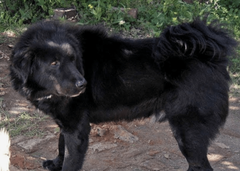 A Bakharwal dog is fierce and protective. They're not recommended for most people.