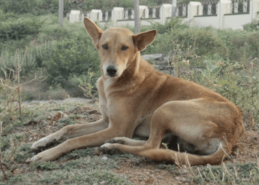 Currently, the future of the Indian Pariah dog looks bright as more and more people are opting for this breed.