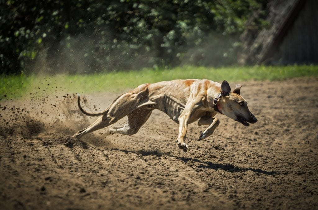 Greyhounds belong to the Hound dog breed category.